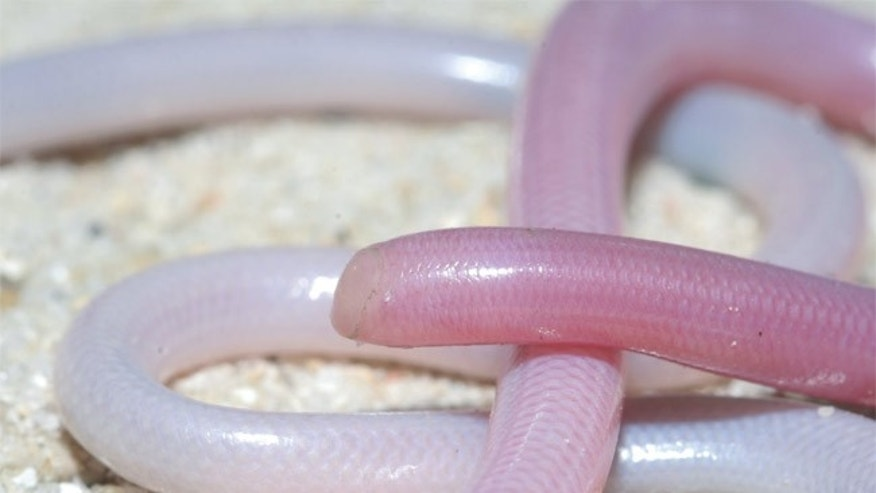 Blind snakes have been discovered to be one of the few species now living in Madagascar that existed there when it broke from India about 100 million years ago, according to a new genetic study.