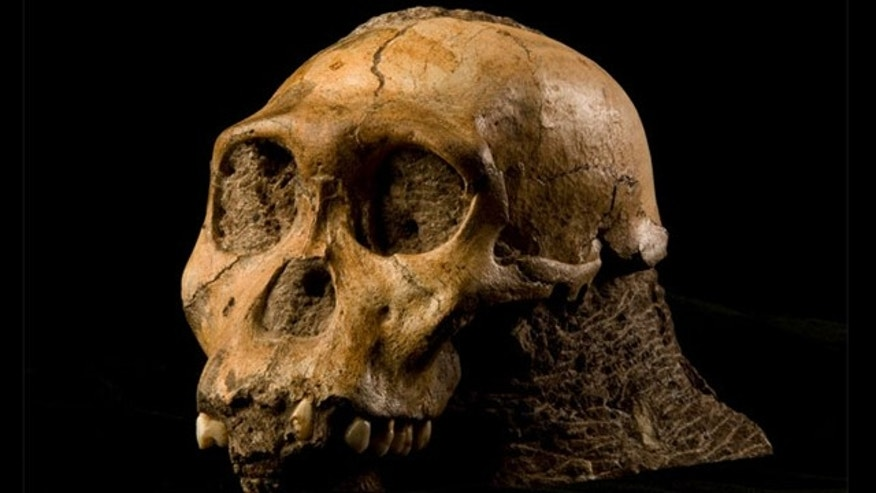 The cranium of the newly identified species, Australopithecus sediba, was found at the Malapa site, South Africa.