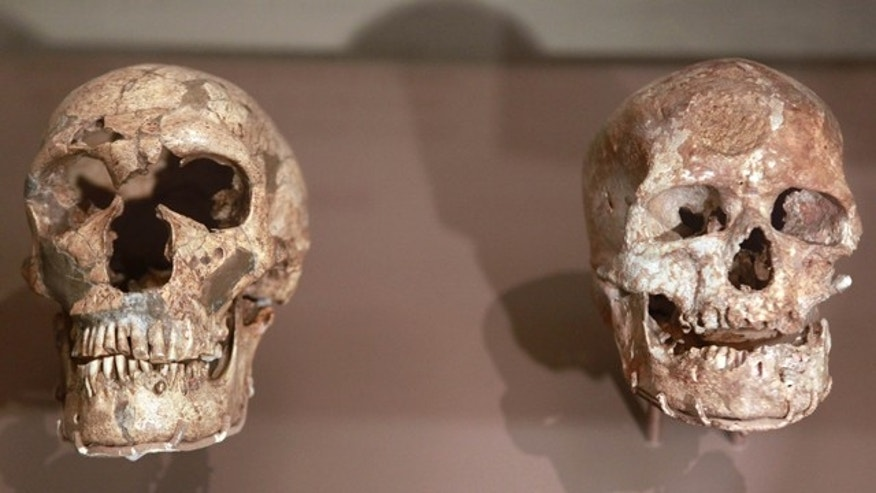 Fossil skulls of La Ferrassie Neanderthal, left, and Cro-Magnon, that are on a three-month loan from the Musee de l'Homme in France, are seen in the David H. Koch Hall of Human Origins exhibit at the Smithsonian's National Museum of Natural History in Washington. Scientists think DNA analysis of Siberian genetic material may have revealed yet another branch of the human tree.