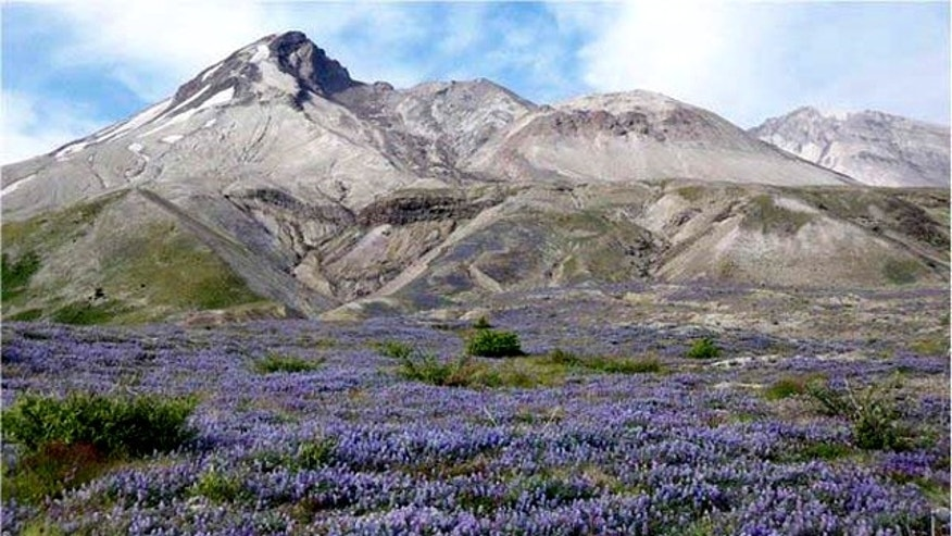 Prairie lupine boomed in the summer of 2007, dominating the Pumice Plain that had been scoured by flows of superheated volcanic ash, debris, and gas during the eruption of Mount St. Helens in 1980. Just a year after this image was taken, however, the lupine population was much lower revealing the erratic ways plants have colonized devastated areas.