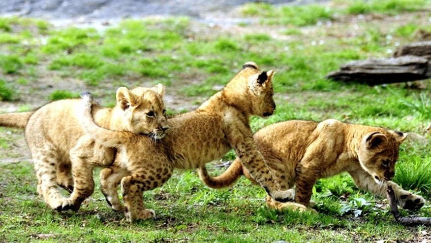 Triplet African lion cubs, born on January 27, play in the Bronx Zoo's African Plains habitat in New York in April.