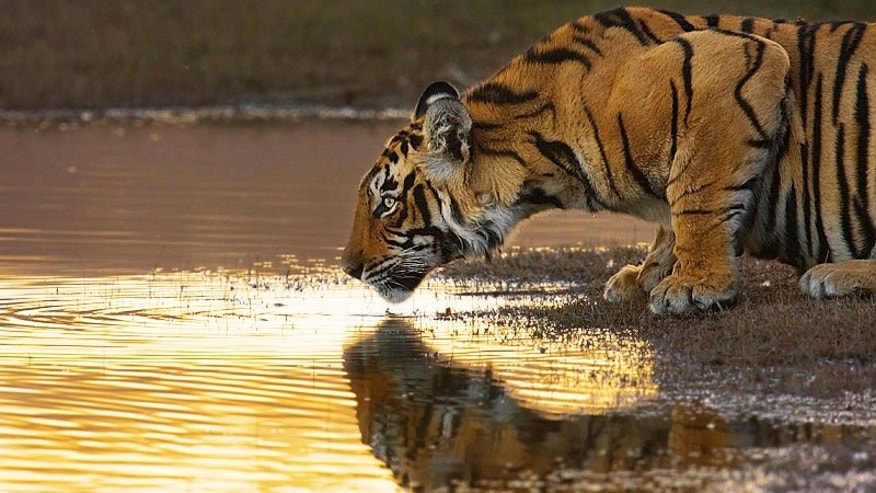 In the fading sunlight of India's Ranthambore Tiger Reserve, a young Bengal tiger ventures down to Rajbag Lake to drink.