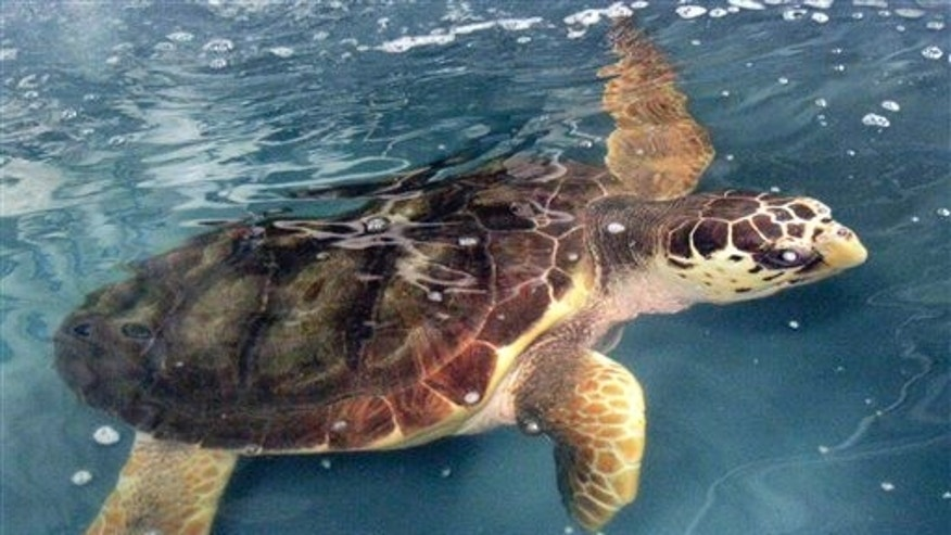 A loggerhead sea turtle swims at the Georgia Aquarium in Atlanta. The federal government recently recommended that it be listed as an endangered species.