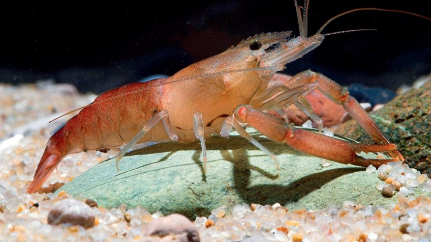 Macrobrachium agwi, a recently discovered species of shrimp.