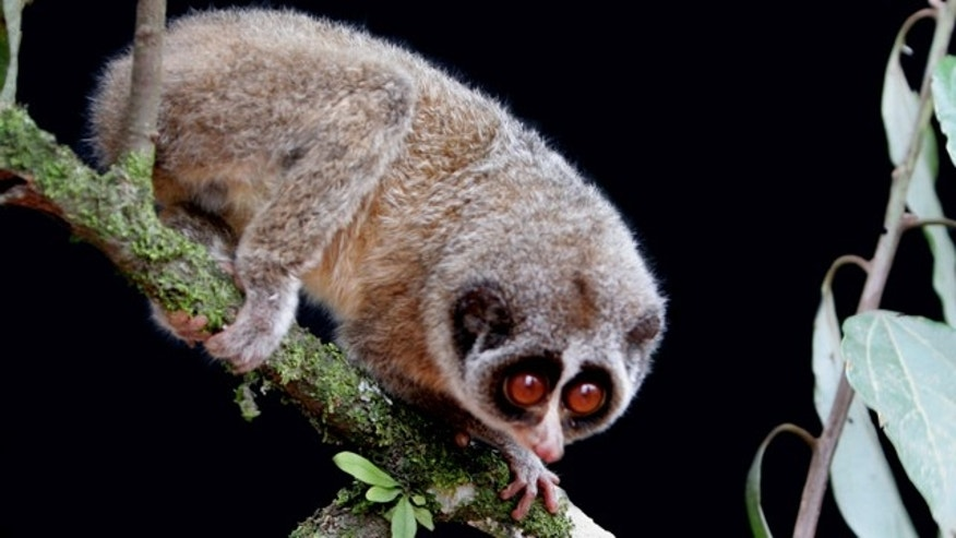 July 19: Researchers say they photographed the rare A Horton Plains slender loris, sitting on a forest branch in a mountain forest in central Sri Lanka. The primate was thought to have been extinct for more than 60 years.