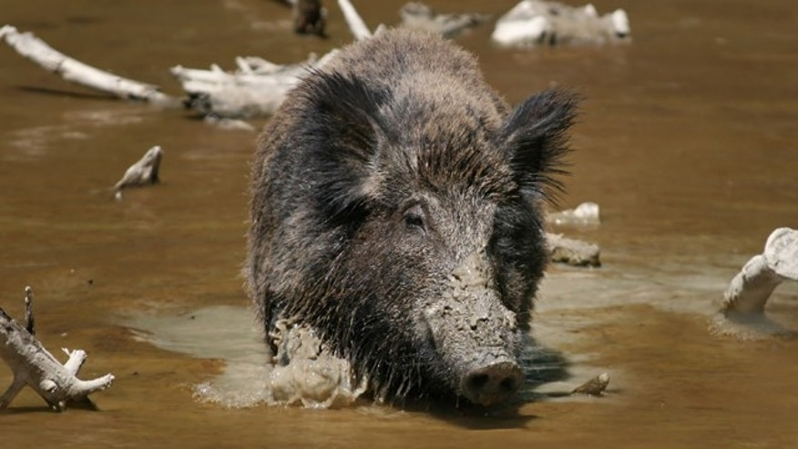 Recently, Germany has reported a surge in the wild boar population. According to one recent study, German wild boar litters have six to eight piglets on average, other countries usually only about four or five.