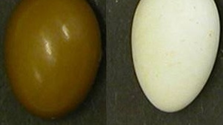 A study showed that while most of the colors of birds' eggshells are visible to humans, UV hues we miss may be important to birds.