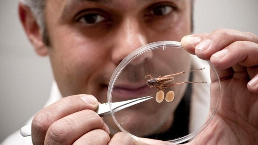 Researchers Karim Vahed holds a specimen of a male Tuberous bushcricket, seen together with its tremendous testicles.