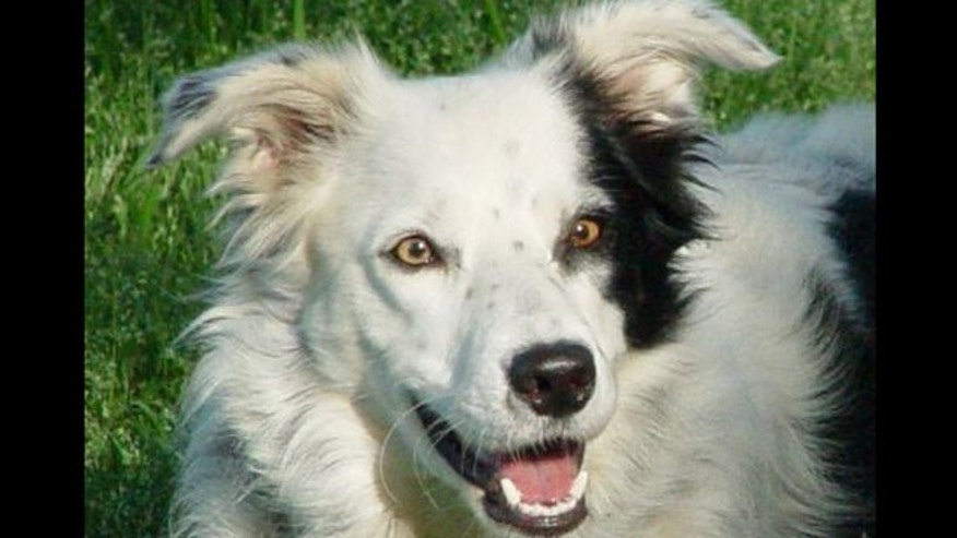 A border collie named Chaser has learned over 1,000 words -- more than any other animal
