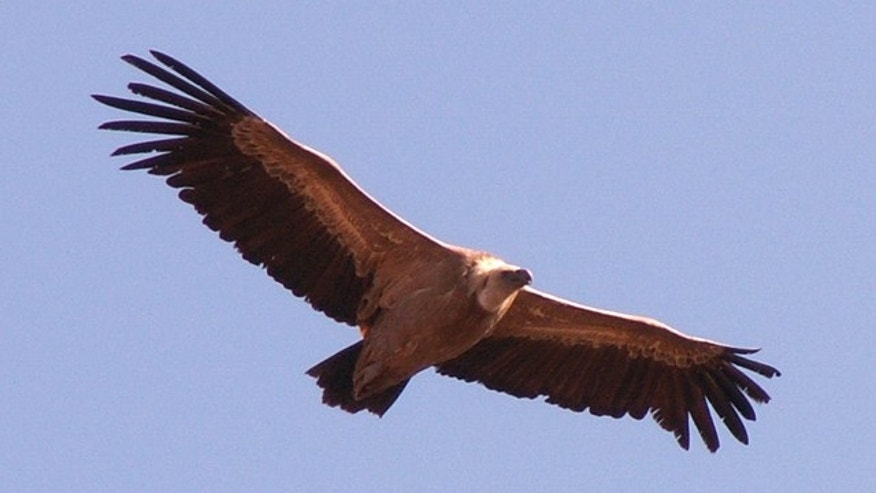 A Griffon Vulture soars through the skies.