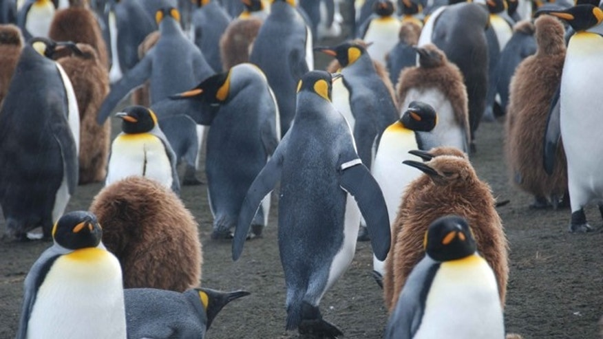 A King penguin with a tracking band on its flipper walks among other adults and juveniles on the sub-antarctic island of Crozet. A new study now shows these bands have hugely detrimental impact.
