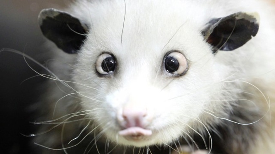 Heidi the cross-eyed opossum was the latest creature to rocket from Germany's front pages to international recognition, capturing the world's imagination with her bright, black eyes turned toward her pointed pink nose.