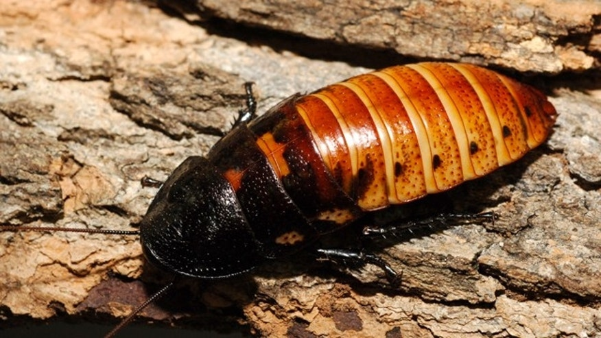 Show your loved one how much you care by naming a giant hissing cockroach after him or her.
