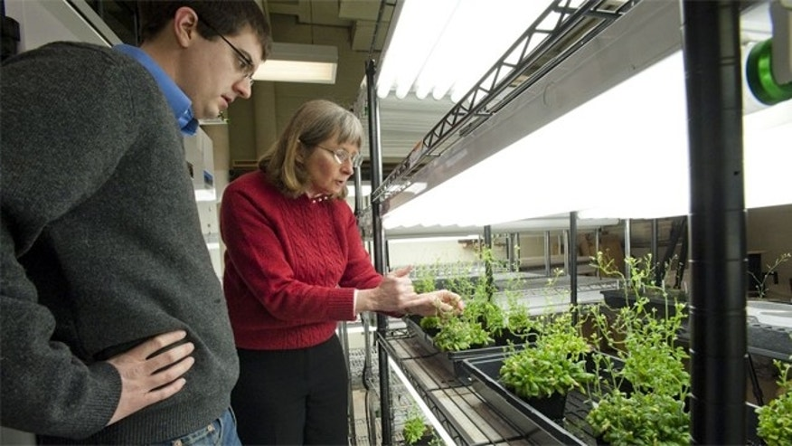 Professor June Medford with her bomb-sniffing plants.
