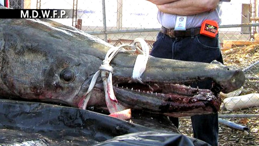 A frame from a video of the 327-pound alligator gar recently caught in Vicksburg, Mississippi.