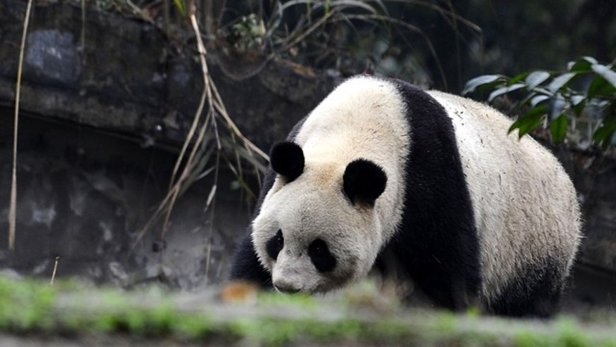 Two 5-year-old pandas are due to arrive at Tokyo's Ueno Zoo on Monday. They'll be the zoo's first since the 2008 death of its beloved giant panda Ling Ling.
