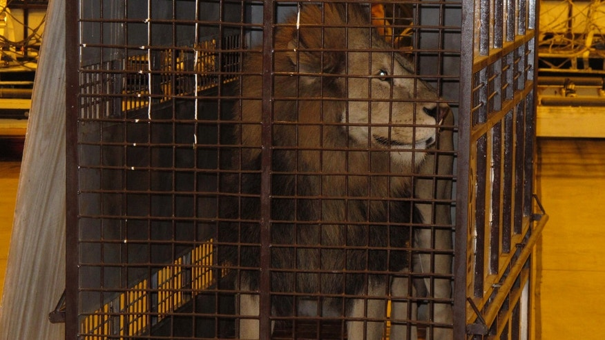 Twenty five Bolivian lions arrived at The Wild Animal Sanctuary in Keensburg, Col., last week after their home country banned the use of animals for entertainment.