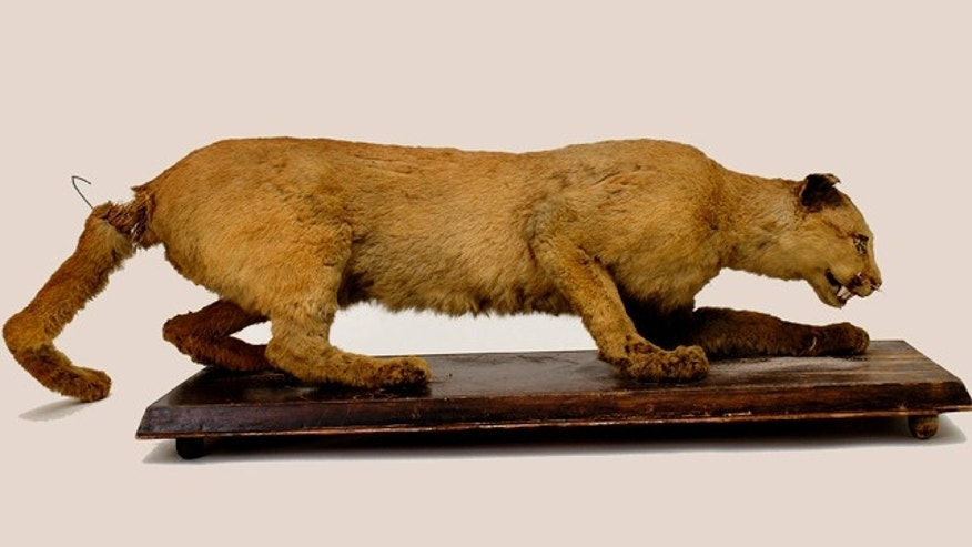 This 2006 photo provided by the State Museum of Pennsylvania, Pennsylvania Historical and Museum Commission, shows the taxidermy of the Eastern Cougar said to have been the last cougar killed in Pennsylvania in 1874 by Thomas Anson.