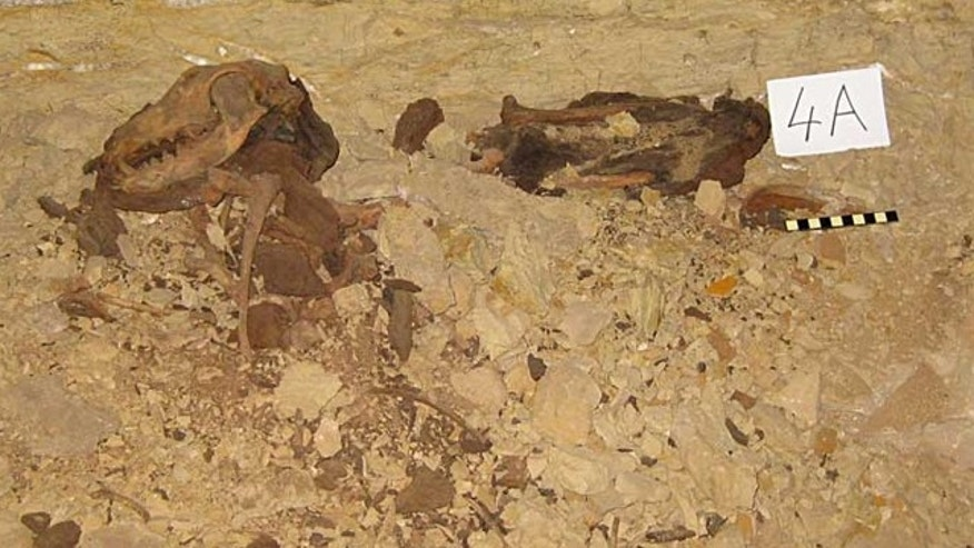 Dog remains in the catacomb uncovered beneath the Egyptian desert.