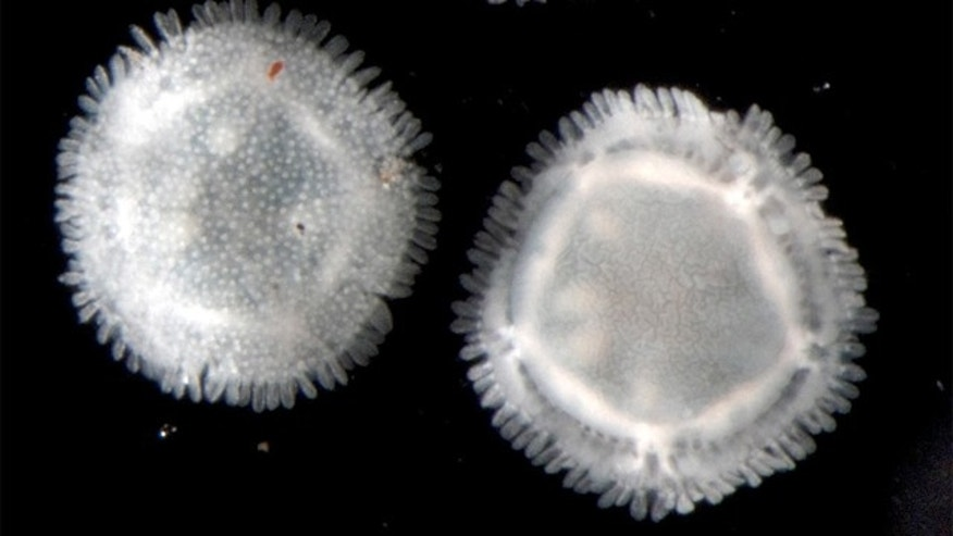 These Xyloplax specimens, spanning less than a quarter-inch (2-5 millimeters) in diameter, were collected in 2010 from the Pacific Ocean at a depth of 7,267 feet (2,202 meters).