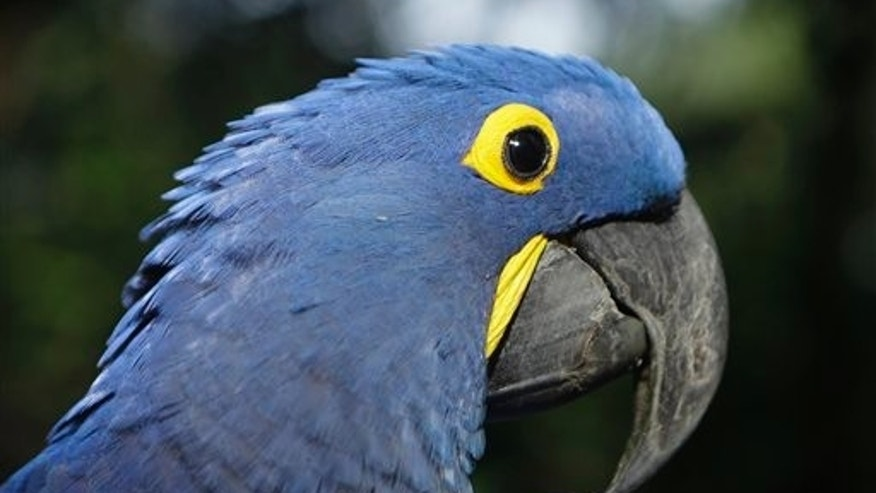 """May 24: Coco, a blue parrot, is perched on a branch at the zoo in Asuncion, Paraguay. Coco arrived at the zoo eight years ago when he was retrieved from a band of wildlife traffickers after their arrest. According to the zoo's vet, Coco has since learned to say """"hello,""""and will start to dance at the sound of cumbia music. The veterinarian staff is looking for a partner for the endangered cobalt blue parrot.  (AP)"""