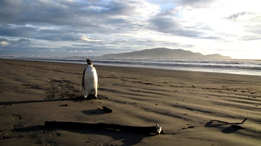 June 20, 2011: A young Antarctic Emperor tgook a rare wrong turn and ended up stranded on a New Zealand beach -- where it became sick after eating sand it mistook for snow.