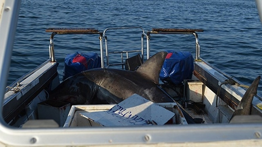 A group of marine scientists were startled by an unexpected guest: a great white shark that lept into their boat.
