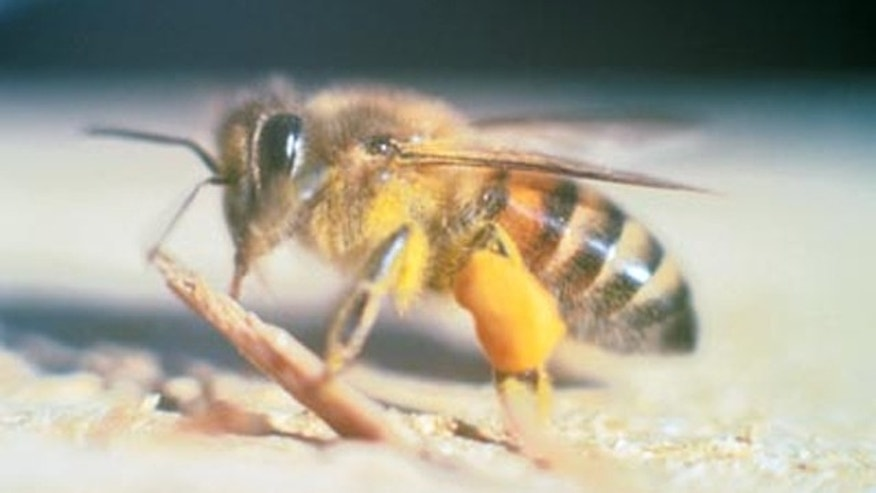 Africanized honey bees have invaded Central California.