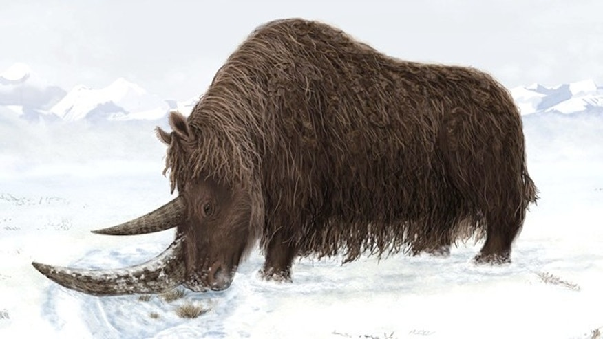 A rhino fossil discovered in 2007 and reported in the journal Science Sept. 2, 2011 belonged to a woolly giant with a flat horn for sweeping away snow.