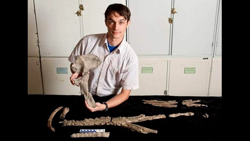 University of Florida researcher Alex Hastings displays a pelvic bone of Acherontisuchus guajiraensis, a 60-million-year-old ancestor of crocodiles discovered at the same site in northeastern Colombia as Titanoboa, the worlds largest snake. Other fossils pictured include portions of the lower and upper jaw, as well as teeth, a rib and toe.