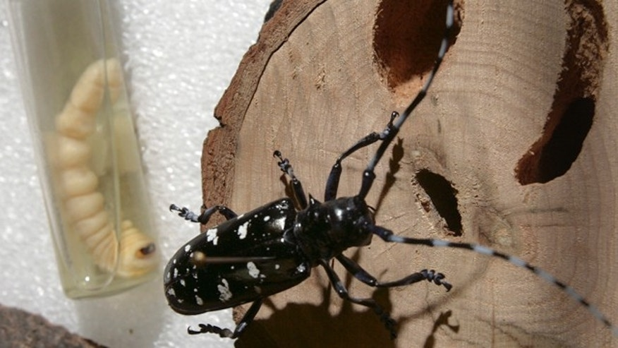 Asian longhorned beetle war