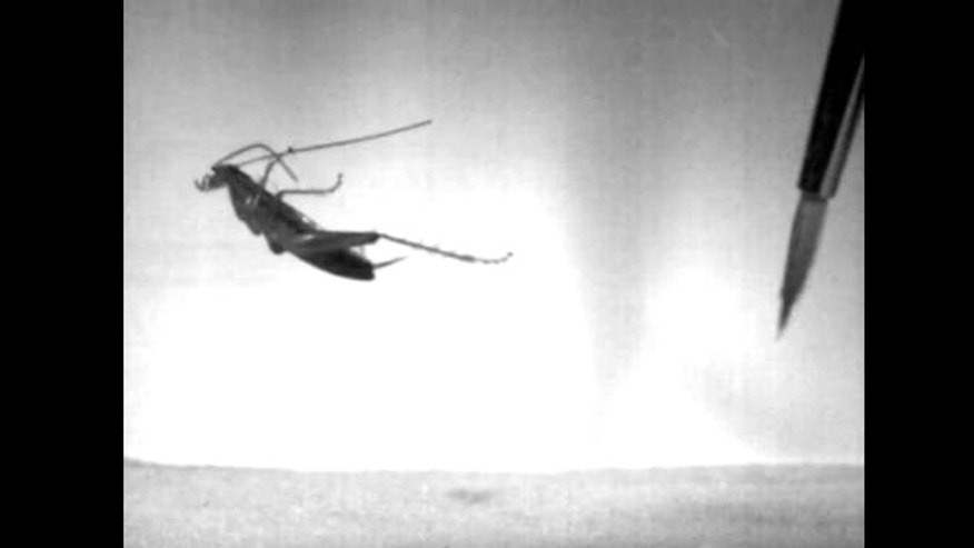 The South African leaproach can propel itself through the air and land nearly 50 body lengths away (roughly one foot), as seen in a video by researchers Malcolm Burrows and Mike Picker.