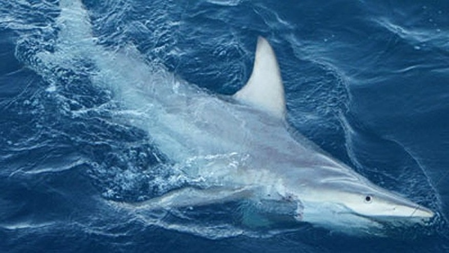 Scientists have discovered widespread hybridization in the wild between two shark species commonly caught in Australia's east coast shark fisheries.