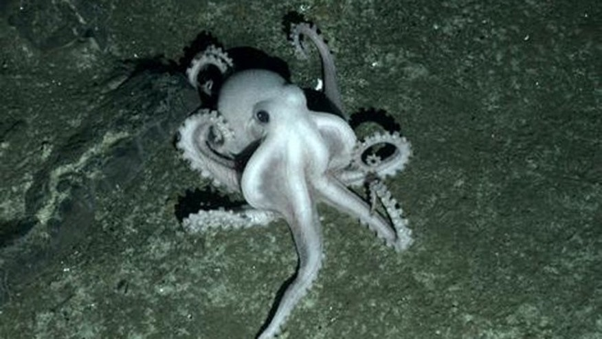 An unidentified species of octopus creeps across the ocean floor.