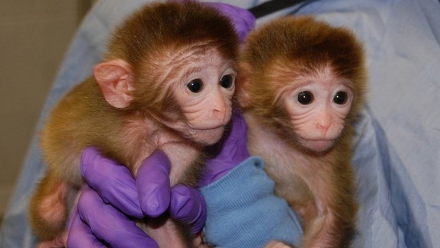 Roku and Hex, two of the world's first chimeric primates.