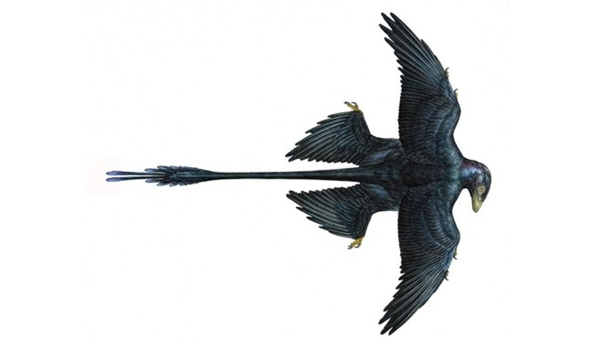 Microraptor Reconstruction, with four wings and elongated tail feathers.