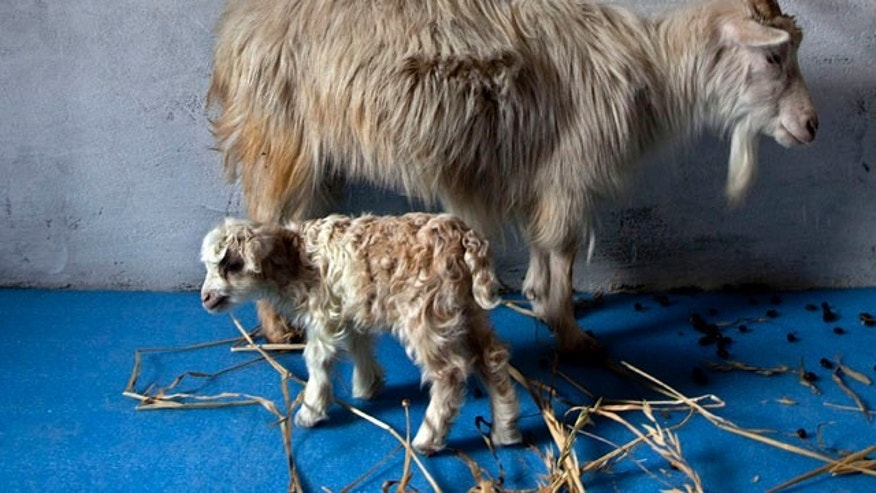 Noori, a cloned pashmina goat, stands near her surrogate mother.