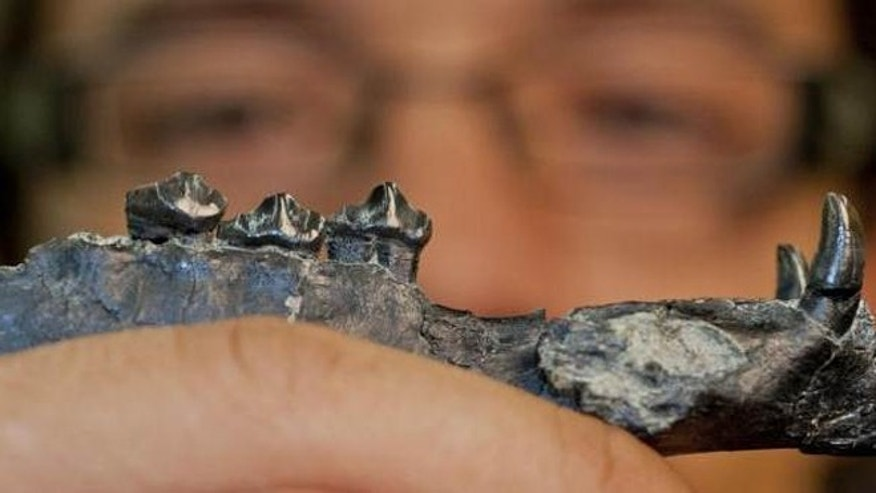 University of Florida researcher Aldo Rincon holds out the lower jaw of Aguascalieta panamaensis, a newly described species of ancient camel. The 20 million-year-old fossil specimen was recovered from the Las Cascadas formation in Panama.