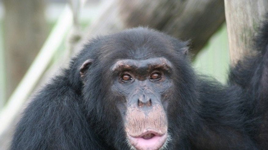 This chimp is smacking and kissing its lips to gain the attention of researchers carrying food.