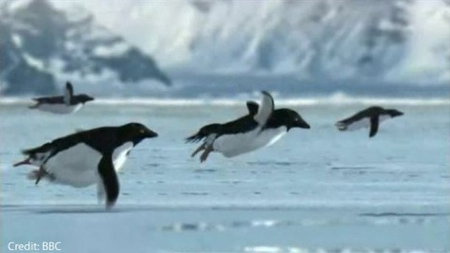 Flying penguins supposedly discovered on an island near Antarctica.