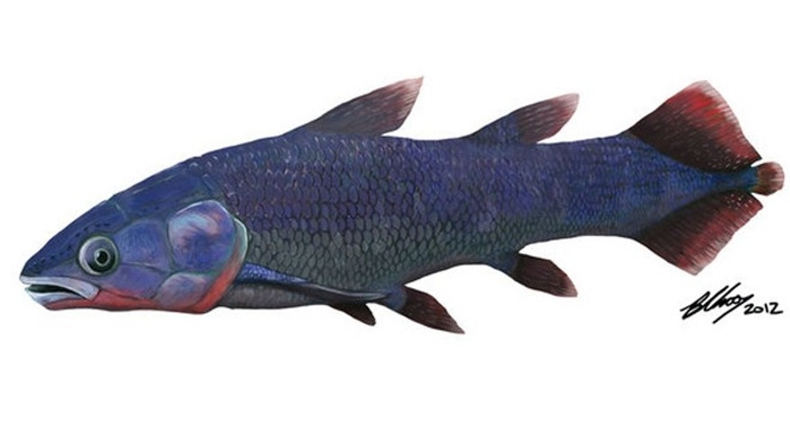 An artist's depiction of the fish that left behind a fossil skull, which has confirmed that modern-looking coelacanths have been around for more than 400 million years.