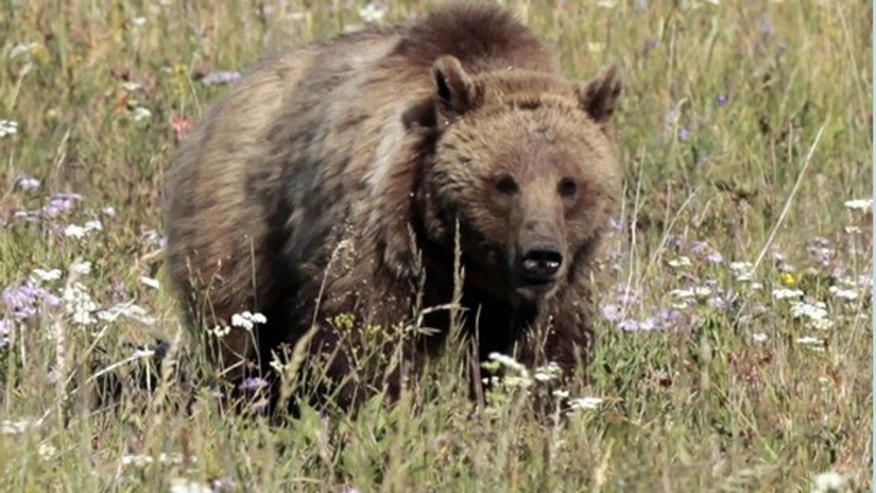 Pictured here is a grizzly bear.