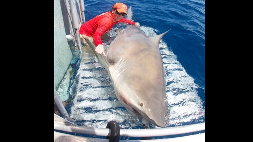 Dr. Neil Hammerschlag pulling up a 1,000-pound bull shark, the largest heâs ever caught. He gave the shark an ID tag and took samples from it so that scientists can learn more about it.