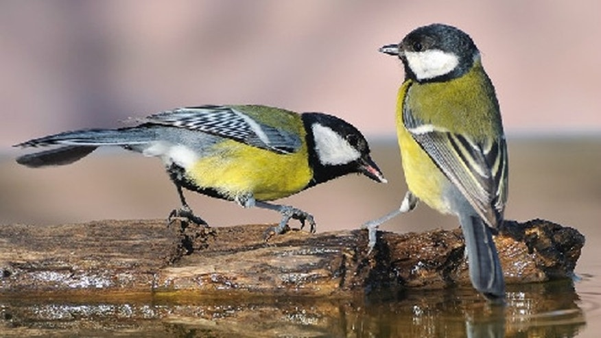 Scientists used a new analytical technique to study the social networks of great tits (Parus major) like these.