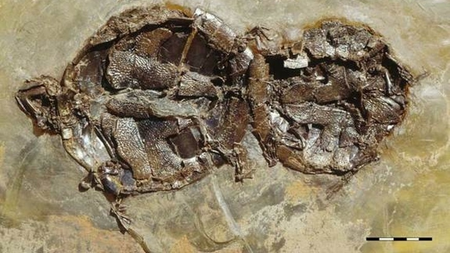 One of nine mating pairs of the extinct turtle Allaeochelys crassesculpta found at the Messel Pit fossil site in Germany. The male (to the right) is about 20 percent smaller than the female.
