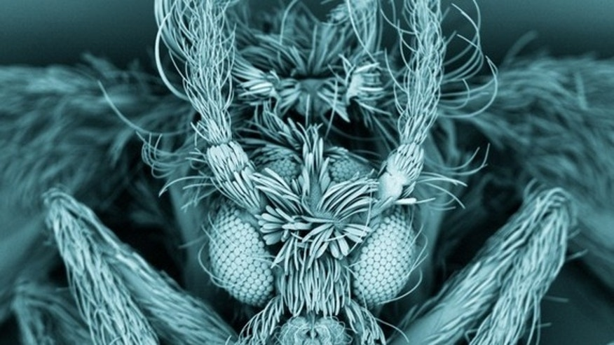 This false-colored image of a moth fly reveals the insect's fuzzy body and compound eyes.