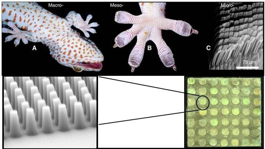 DARPA's Geckskin is a synthetically-fabricated reversible adhesive inspired by the geckos ability to climb surfaces of various materials and roughness, including smooth surfaces like glass.