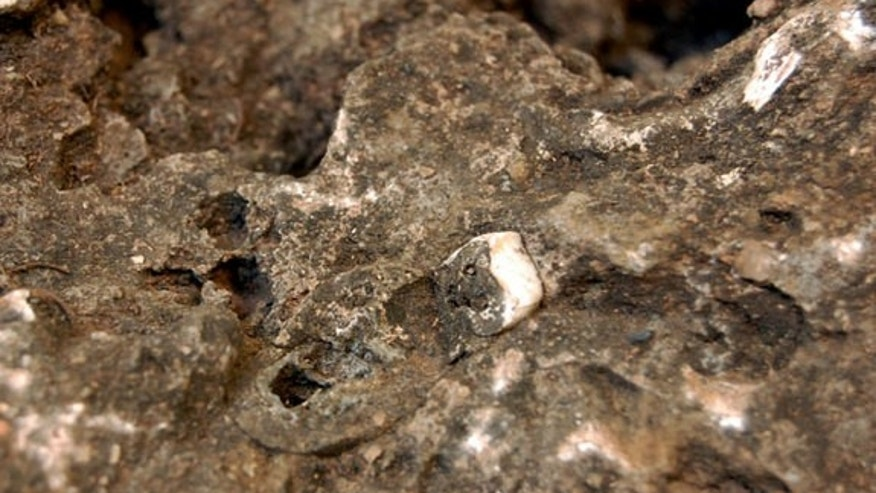 The tooth of a hominid, Australopithecus sediba, embedded in a rock that contains significant parts of a skeleton of this early human ancestor.