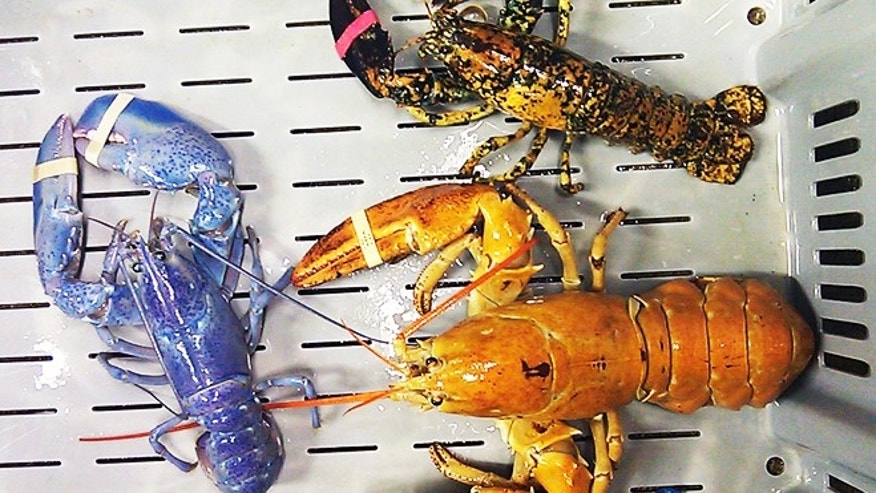 June 26, 2012: A bright orange, left, a bright blue, right, and a calico lobster at New Meadows Lobster in Portland, Maine. Scientists are seeing a boom in the number of blue, orange, yellow and calico-colored lobsters in the past two years, leading them to ask why.