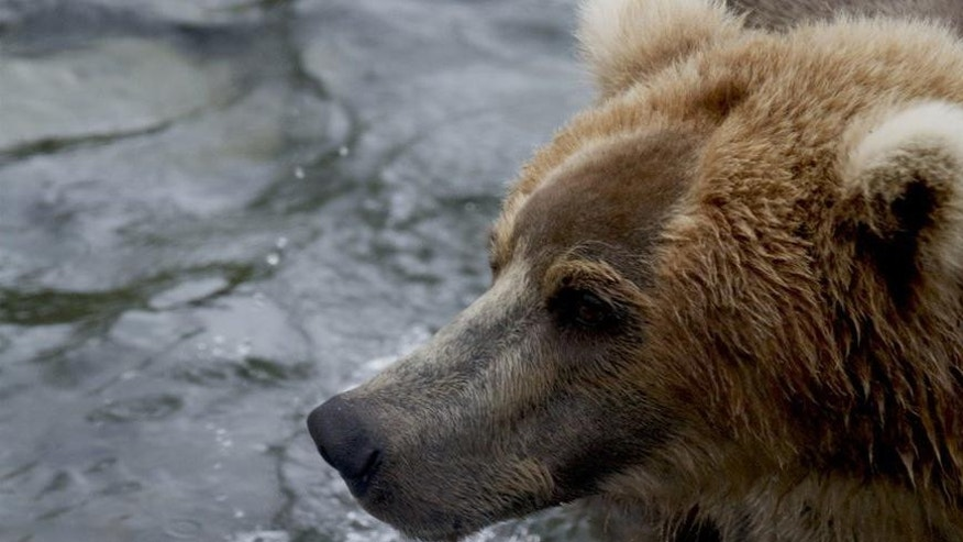 An image from the Brown Bear & Salmon Cam at Brooks Camp in Katmai National Park, Alaska where coastal brown bears feed on the worlds largest Sockeye Salmon runs.